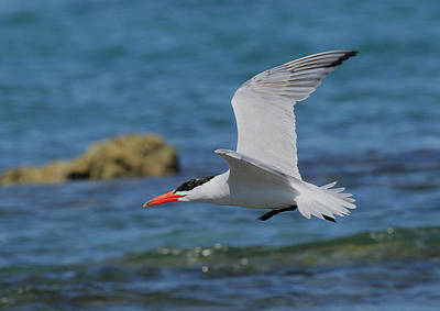 Photograph - Caspian Tern by Tony Brown