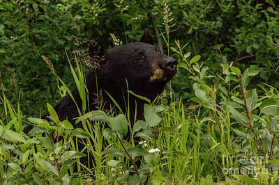 Photograph - Cassiar Black Bear by Louise Magno