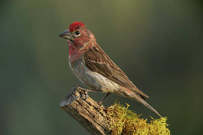 Photograph - Cassin's Finch by Doug Herr