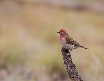 Photograph - Cassins Finch  by Doug Lloyd
