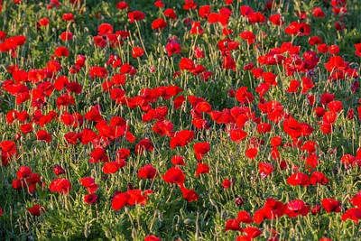 Photograph - Castro Poppies by Teresa Wilson