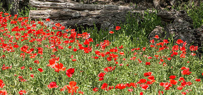 Photograph - Castro Poppies With Fallen Log by Teresa Wilson