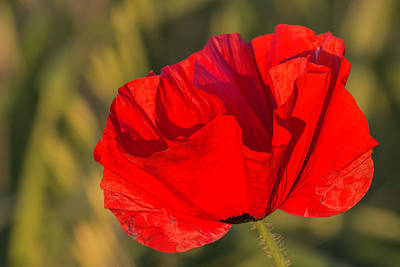 Photograph - Castro Poppy 2 by Teresa Wilson