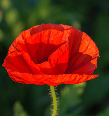 Photograph - Castro Poppy by Teresa Wilson