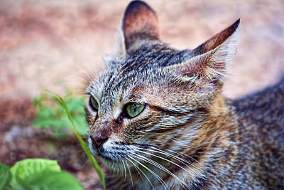 Photograph - Cat 3 by Isam Awad