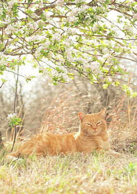 Photograph - Cat And Apple Blossoms by Sari ONeal