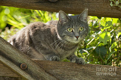 Gray Tabby Photograph - Cat And Fence by John Daniels