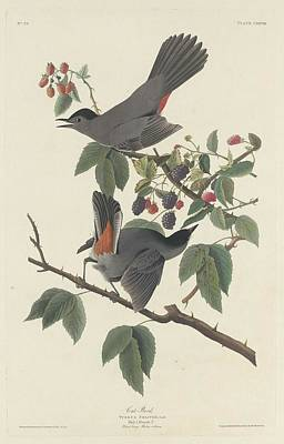 Wings Drawing - Cat Bird by Dreyer Wildlife Print Collections
