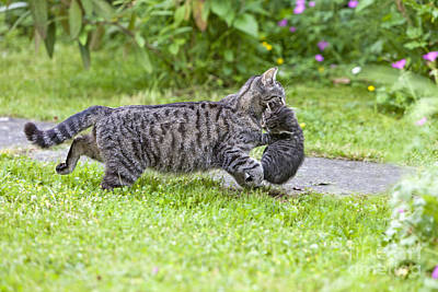 Pet Care Photograph - Cat Carrying Kitten by Duncan Usher