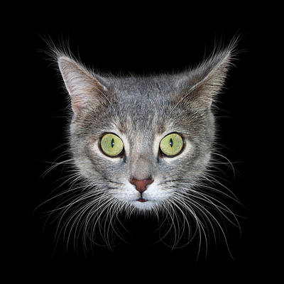 Photograph - Cat Head On Black Background by James Larkin