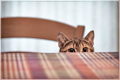 Photograph - Cat Hiding Under The Table by Alfio Finocchiaro