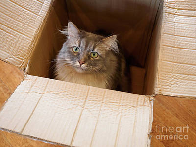 Longhair Cats Photograph - Cat In A Box by Louise Heusinkveld