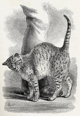 Rubbing Drawing - Cat In An Affectionate Frame Of Mind by Thomas W Wood