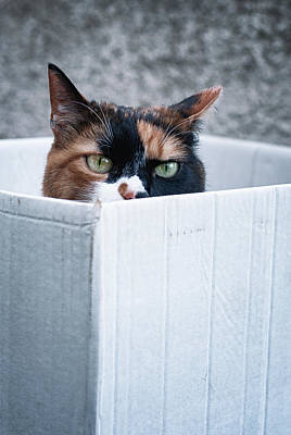 Photograph - Cat In The Box by Laura Melis