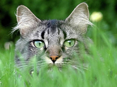 Photograph - Cat In The Grass by Anne Mott