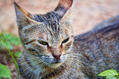 Photograph - Cat by Isam Awad