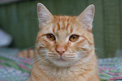 Friendly Digital Art - Cat Kuzya, - Wistful Dreamer by Yuri Hope
