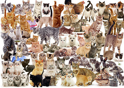 Photograph - Cat Montage by Warren Photographic