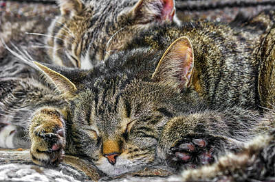 Photograph - Cat Nap by Irwin Seidman