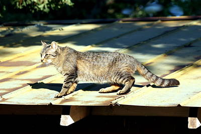 Photograph - Cat On A Hot Tin Roof by Sheila Brown