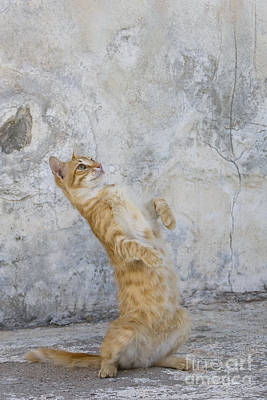 Photograph - Cat Playing, Greece by Jean-Louis Klein and Marie-Luce Hubert