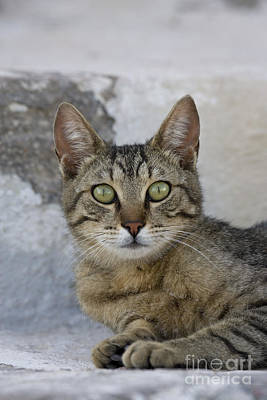 Gray Tabby Photograph - Cat Portrait, Greece by Jean-Louis Klein & Marie-Luce Hubert