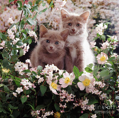 Photograph - Cat Roses by Warren Photographic