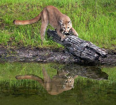 Photograph - Cat Scratch Fever by Art Cole