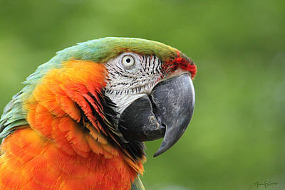 Photograph - Catalina Macaw by Nancy  Coelho