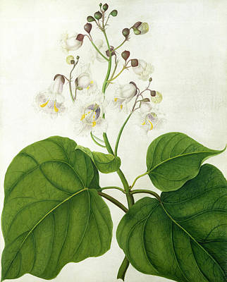 Still Life Drawing - Catalpa Speciosa by Matilda Conyers