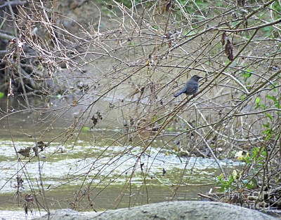 Photograph - Catbird At Nancy Creek In Blue Heron Nature Preserve by Lizi Beard-Ward