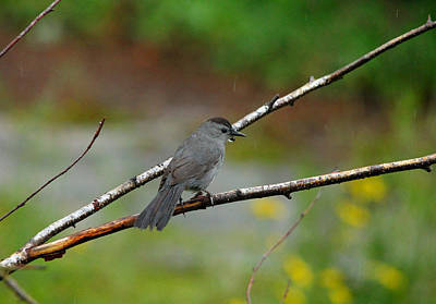 Photograph - Catbird by Debbie Oppermann