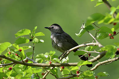 Photograph - Catbird In Mullberry by Ann Bridges