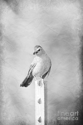 Photograph - Catbird by Lila Fisher-Wenzel