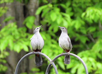 Photograph - Catbird Pair 2 by MTBobbins Photography