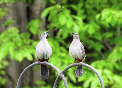 Photograph - Catbird Pair 3 by MTBobbins Photography