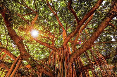 Art Print featuring the photograph Catch A Sunbeam Under The Banyan Tree by D Davila