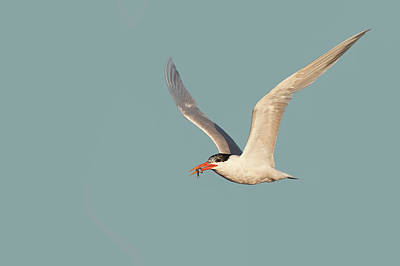 Photograph - Catch Of The Day - Caspian Tern Huntington Beach California by Ram Vasudev