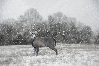 Photograph - Catching Snow Flakes Deer Art by Jai Johnson