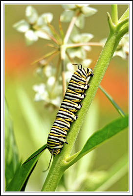Caterpillar On Milkweed Plant Art Print by Geraldine Scull