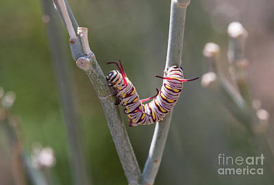 Photograph - Caterpillar On Milkweed by Ruth Jolly