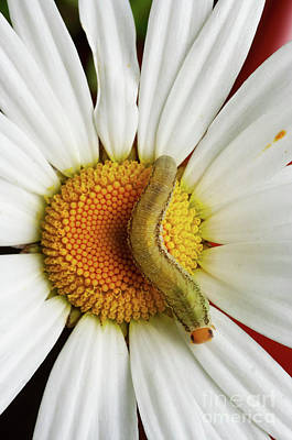Photograph - Caterpillar On The English Daisy by Michal Boubin