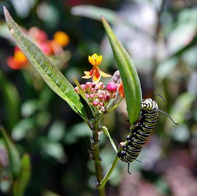 Photograph - Caterpillar by Phyllis Spoor