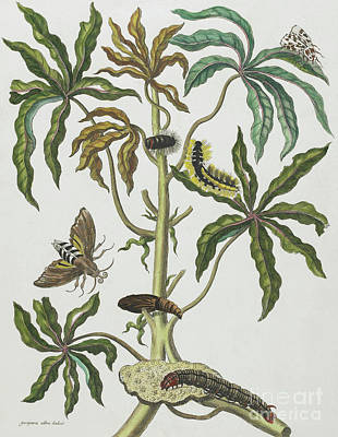 Creepy Drawing - Caterpillars And Insects With Foliage by Maria Sibylla Graff Merian