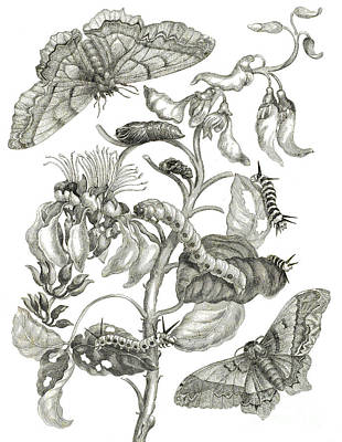 Ink Drawing Drawing - Caterpillars, Butterflies, And Flower by Maria Sibylla Graff Merian