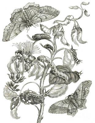 Caterpillar Wall Art - Drawing - Caterpillars, Butterflies, And Flower by Maria Sibylla Graff Merian