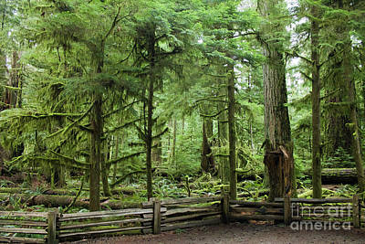 Photograph - Cathedral Grove Path by Donna L Munro