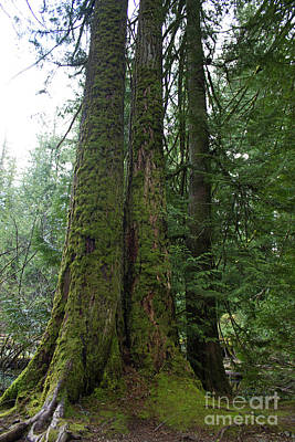 Photograph - Cathedral Grove Triplets by Donna L Munro