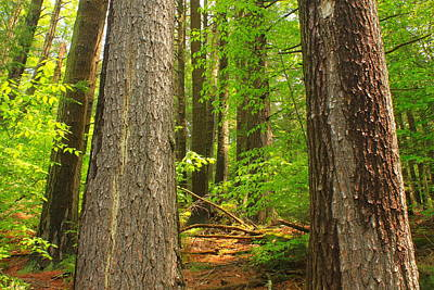 Photograph - Cathedral Of The Pines Old Growth Trees by John Burk