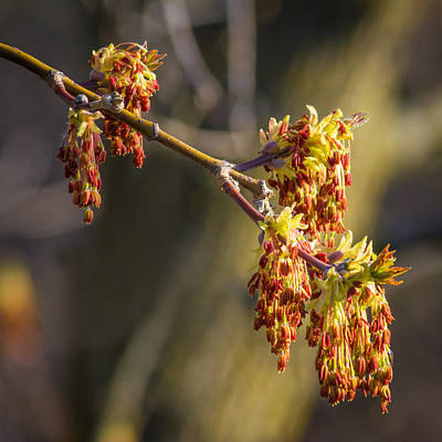Flora Photograph - Catkin Time 4 by Steve Harrington
